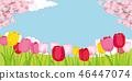 cherry blossom, cherry tree, tulipa 46447074