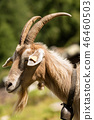 Mountain Goat with horns and cowbell - Italy 46460503