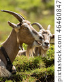 Mountain Goats with horns and cowbell - Italy 46460847