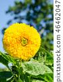 Teddy Bear sunflower 46462047