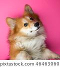 corgi fluffy portrait 46463060