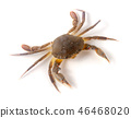 edible alive crab isolated on a white background 46468020