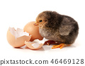 Cute little chicken with egg isolated on white background 46469128