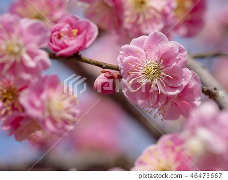 粉紅色的梅花 46473667