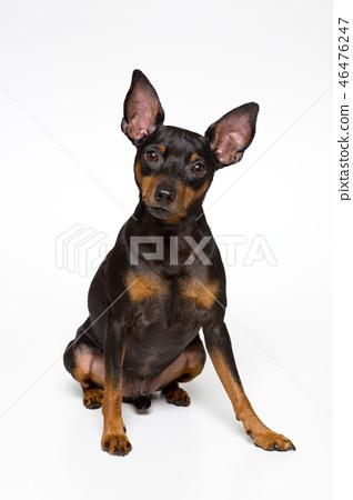 迷你杜賓犬 46476247