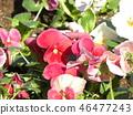 中提琴 花朵 花卉 46477243