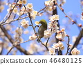 Pink plum blossoms and whitetail 46480125