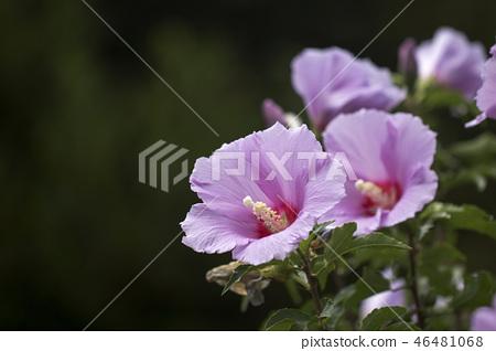 무궁화,꽃,식물,자연,풍경 46481068