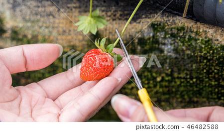 草稈草樁園林水水果台灣農業屠宰草屠宰草莓草莓草莓 46482588