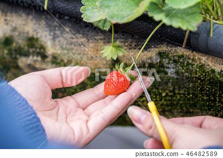 草稈草樁園林水水果台灣農業屠宰草屠宰草莓草莓草莓 46482589