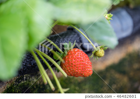 草高粱草樁庭院水水果台灣冬天冬天冬天農業農業草莖草莓草莓草莓 46482601