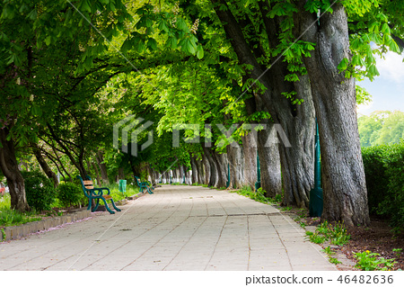 alley with chestnut trees in blossom 46482636