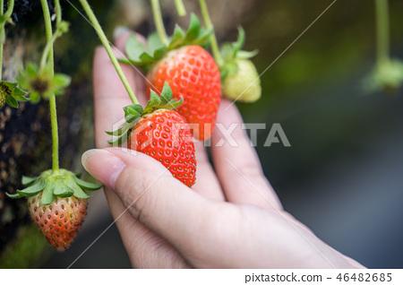 草稈草樁園林水水果台灣農業屠宰草屠宰草莓草莓草莓 46482685