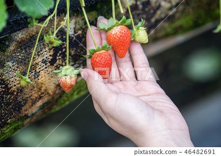 草稈草樁園林水水果台灣農業屠宰草屠宰草莓草莓草莓 46482691