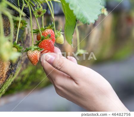 草稈草樁園林水水果台灣農業屠宰草屠宰草莓草莓草莓 46482756