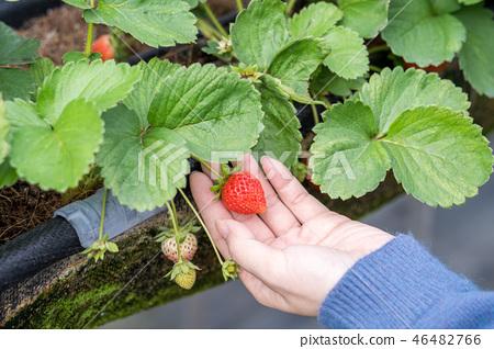 草稈草樁園林水水果台灣農業屠宰草屠宰草莓草莓草莓 46482766