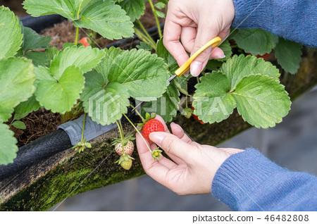 草稈草樁園林水水果台灣農業屠宰草屠宰草莓草莓草莓 46482808