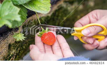 草稈草樁園林水水果台灣農業屠宰草屠宰草莓草莓草莓 46482814