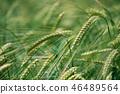 barley ear field 46489564