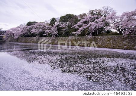 彦根城櫻花  46493555