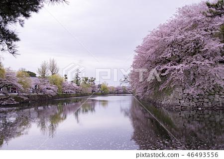 彦根城櫻花  46493556