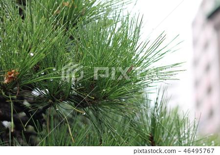 kawaguchi, tree, wood 46495767