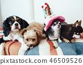 四只狗正在庆祝生日 46509526