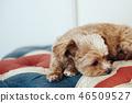 狗/ Chiwapu放松在英国国旗图案的沙发上 46509527