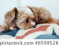 狗/ Chiwapu放松在英国国旗图案的沙发上 46509528