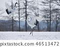 Cranes dancing with two (Hokkaido, Tsurui) 46513472