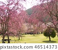 cherry blossom, cherry tree, fake buyer 46514373