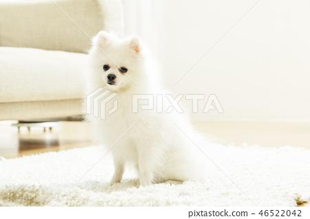 포메라니안,강아지,애완동물,반려동물,반려견 46522042