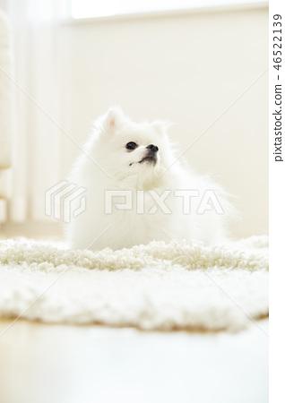 포메라니안,강아지,애완동물,반려동물,반려견 46522139