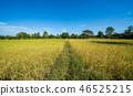 水稻種植稻田 46525215