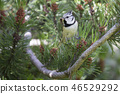 European crested tit in a pine tree 46529292