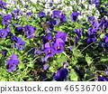 紫色美麗的bithra花 46536700
