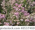 귀여운 작은 분홍색 꽃 에리카 46537469