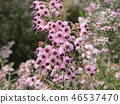 귀여운 작은 분홍색 꽃 에리카 46537470