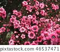 leptospermum scoparium, pink, flower 46537471