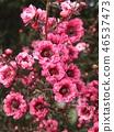 leptospermum scoparium, pink, flower 46537473