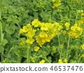 rape blossoms, broccolini, start to bloom 46537476