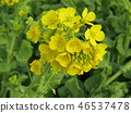rape blossoms, broccolini, start to bloom 46537478