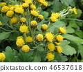 ดอกไม้สีเหลืองเป็นดอกไม้ชายฝั่ง isogi 46537618