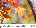 단풍 나무 단풍 46537826