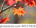 단풍 나무 단풍 46537828