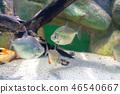 Silver Dollar fish, Metynnis lippincottianus 46540667