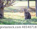 꿩 호랑이 고양이 46540718