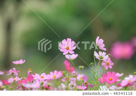 大波斯菊,大波斯菊田地,花園 46543118
