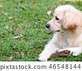 lonesome lonely sad white cute fat long hair puppy 46548144