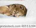 Shiba shiba-inu dog 46553284